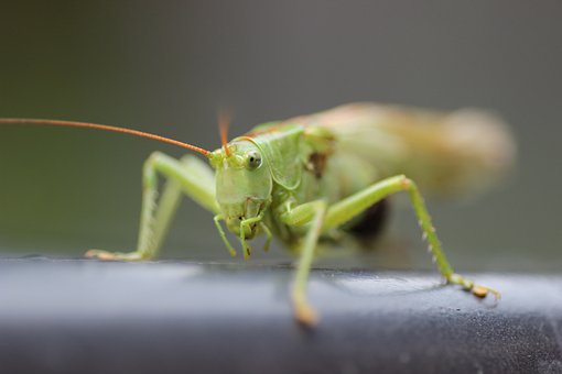 Grasshopper, Grille, Insect, Zirpe, Green, Close, Probe