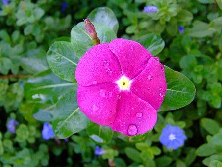 Kumintang, Pink, Periwinkle, Rosy Periwinkle, Flowers