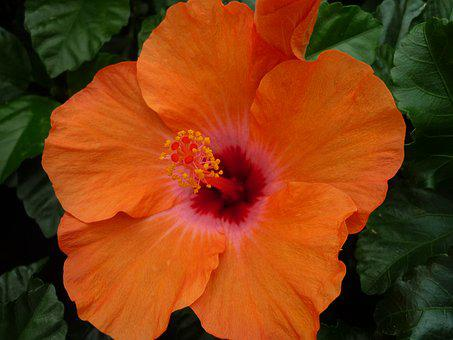 Hibiscus, Magnificent, Orange Blossom, Tropical