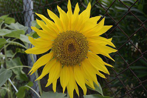Sunflower, Plant, Flower, Yellow, Blossom, Natural