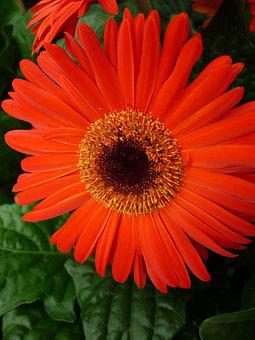 Gerbera, Reddish-orange, Blossom, Bloom, Potted Plant