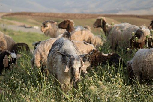 Goat, Sheep, Rural, Animal, Nature, Lamb, Livestock