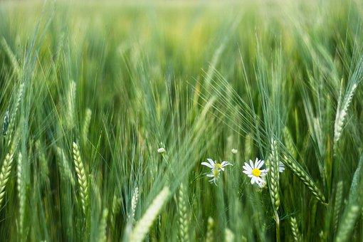 Corn, Barley, Field, Ears, The Cultivation Of