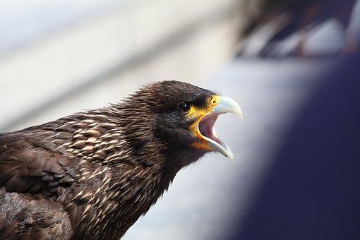 Eagle, Squawk, Screech, Angry, Bird, Nature, Wildlife