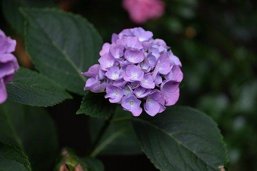 Hydrangea, Summer, Flower, Garden, Blossom, Bloom