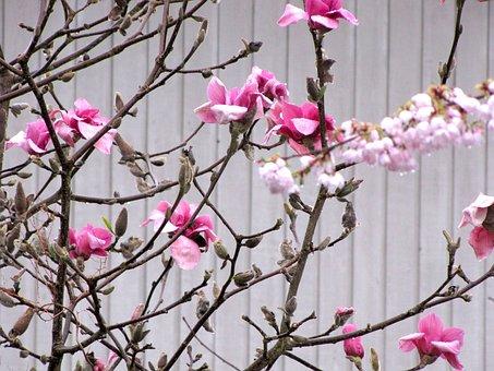 British Columbia, Coquitlam, Blossom, Spring