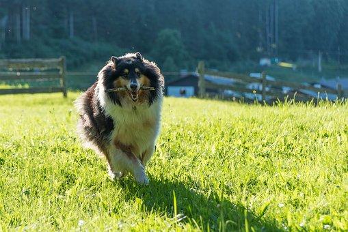 Dog, Collie, Purebred Dog, British Sheepdog, Animal