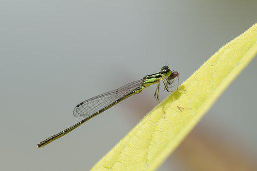 Fragile Forktail, Damselfly, Insect, Macro, Nature