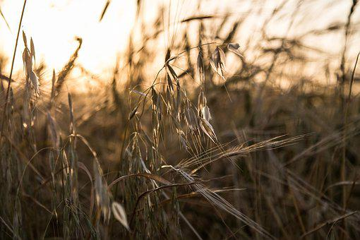 Barley, Farm, Nature, Agriculture, Field, Grain