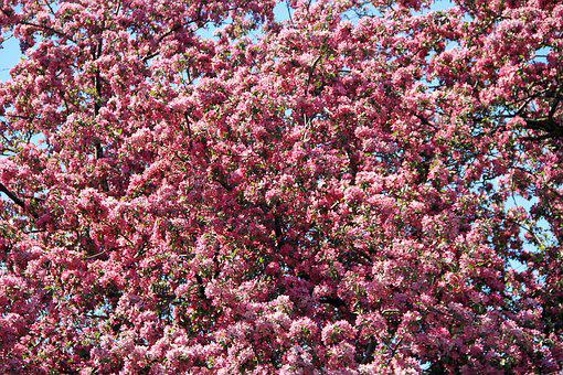 Pink, Blossom, Spring, Nature, Flower, Bloom, Branch