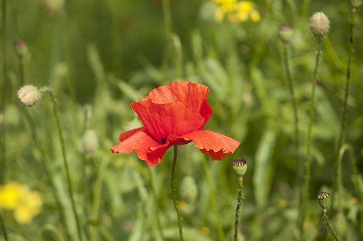 Poppy, Summer, Nature, Red, Flower, Bloom