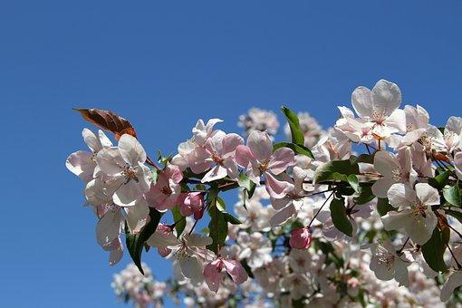 Apple Tree Blossom, Flowers, Blue Sky, Blossom, Apple