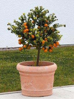 Orange Tree, Fruits, Decoration, Flowerpot, Tree