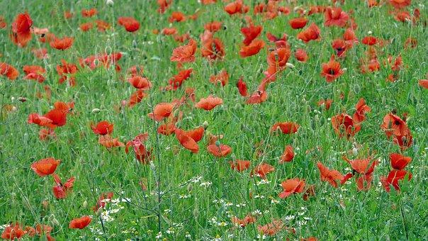 Poppy Field, Grain Flower, Flower, Flowers, Red, Summer