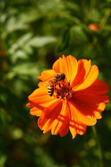 Bee, Honey, Insects, Yellow Flower, Yellow Cosmos