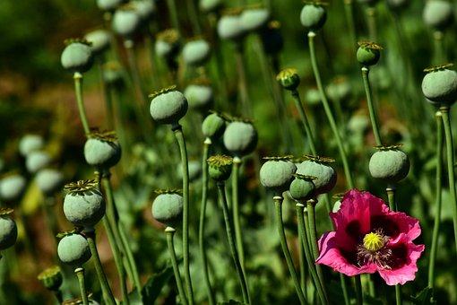 Poppy, Field Of Poppies, Poppy Capsules, Pink