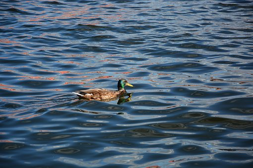 Duck, Sea, Water, Nature, Loneliness