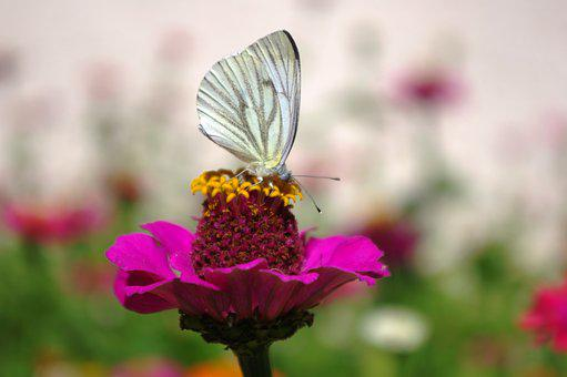 Butterfly, Blossom, Bloom, Meadow, Pink, Nature, Close