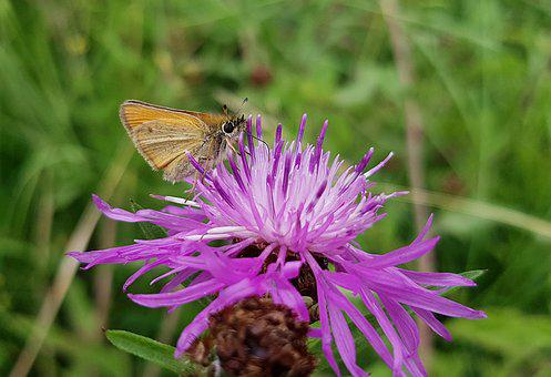 Butterfly, Small Skipper, Skipper, Nature, Insect