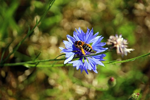 Flower, Bee, Cornflower, Insect, Blossom, Bloom, Nature