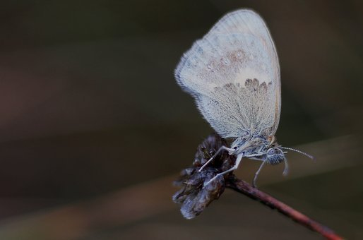 Butterfly, Grey, Insect, Wing, Discreetly Patterned