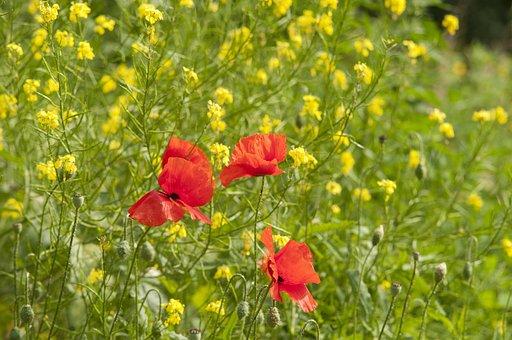 Poppy, Summer, Field, Flower, Nature, Red, Flower Field