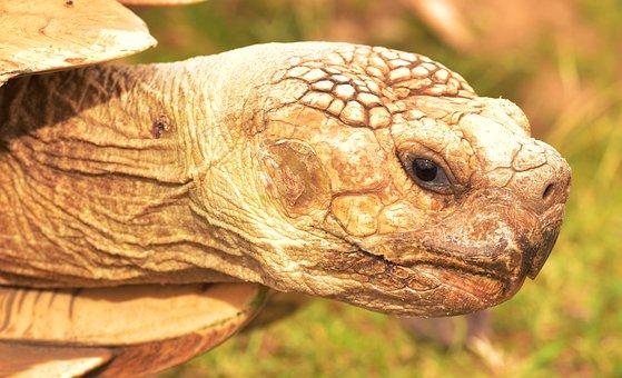 Turtle, Animal, Panzer, Slowly, Macro, Giant Tortoise