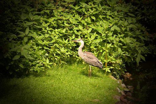 Heron, Water Bird, Nature, Plumage, Grey Heron, Animal