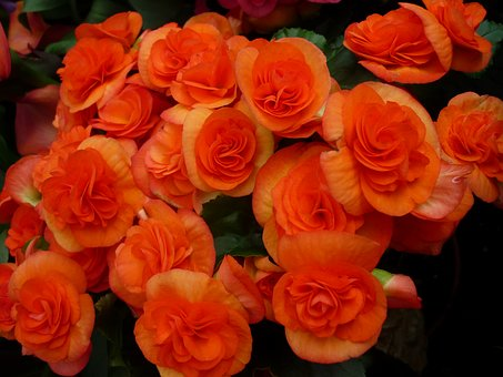 Ornamental Flower, Tuber Crop, Strong, Orange Flowers