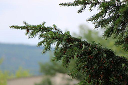 Cone, Tree, Pine Cone, Pine, Forest