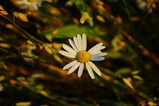 Daisy, The Background, Village, Nature, The Delicacy