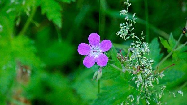 Finnish, Wild Flower, Hay, Nature, Wallpaper