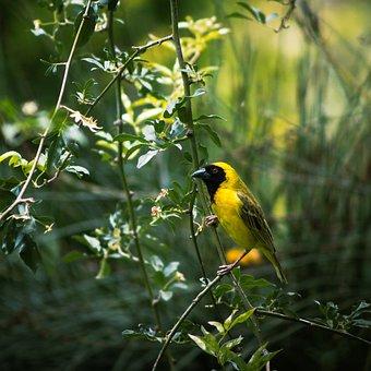 Bird, Male, Weaver, Beak, Feather, Animal, Birdwatching