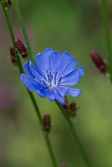 Chicory, Flower, Blossom, Bloom, Blue, Asteraceae