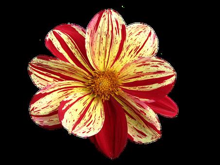 Png, Dahlia, Late Summer, Dahlia Garden, Blossom, Bloom