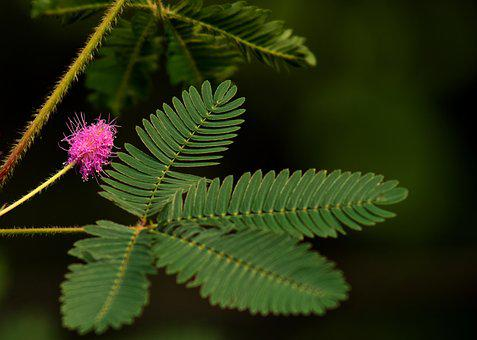 Mimosa, Real Mimosa, Blossom, Bloom, Pink, Leaf