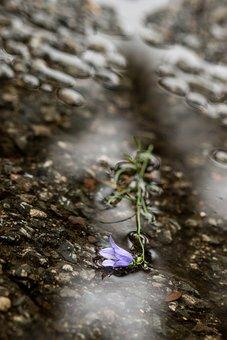 Wild Flower, Flower, Blue, Rain, Puddle, Macro