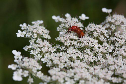 Meadows-yarrow, Achillea Millefolium, Flowers, Flower
