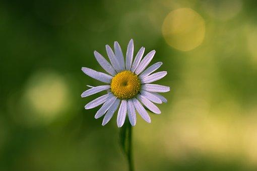 Daisy, Flower, Summer, Nature, The Finnish Nature