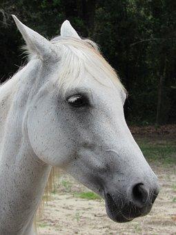 White, Horse, Portrait