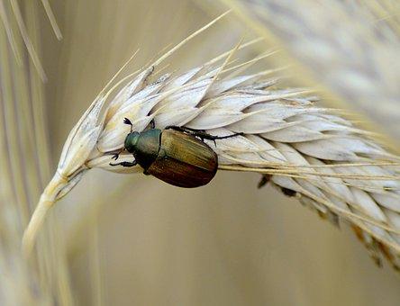 Beetle, Brown, Nature, Animal, Spring, Krabbeltier