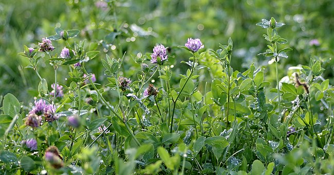 Clover, Red, Blue, Purple, Meadow, Green, Color
