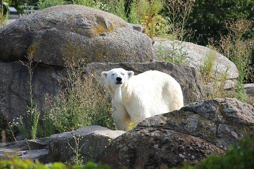 Climate Change, Polar Bear, Zoological Garden, Bear