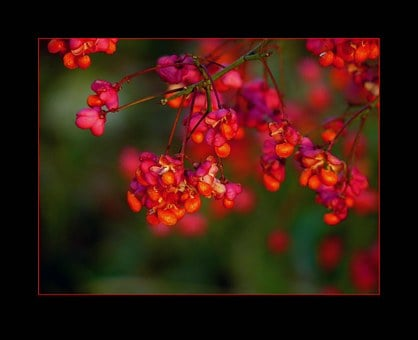 Spindle, Blossom, Bloom, Fortunei, Ornamental Shrub