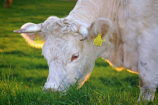 Happy Cows, Beef, Milk Cow, Cows, Cattle, Bio