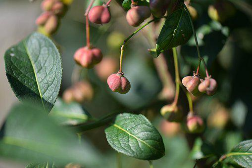 Bush, Spindle, Fortunei, Macro, Nature