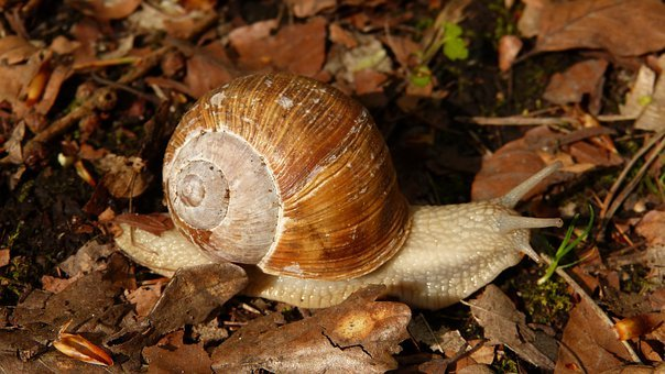 Snail, Wirbellos, Animal, Nature, Helix Pomatia