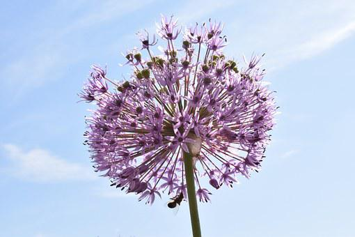 Leek, Ornamental Onion, Nature, Blossom, Bloom