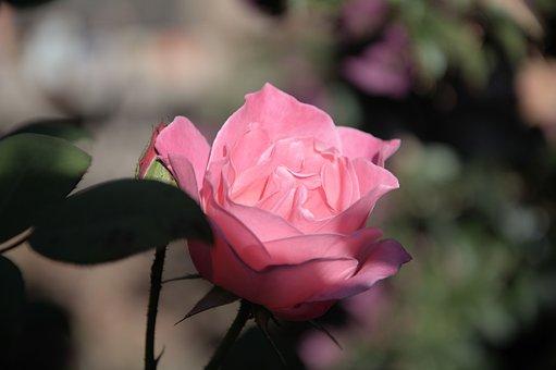 Iceberg, Pink Rose, Fragrant, Pedals