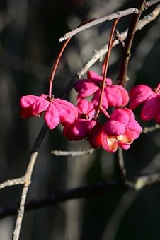 Spindle, Pink, Berries, Fruits, Fortunei, Pfaff Copings